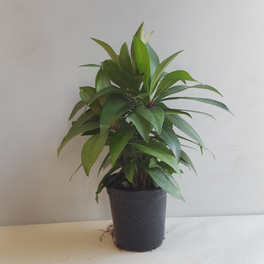 "4"" POTTED ARDISIA"