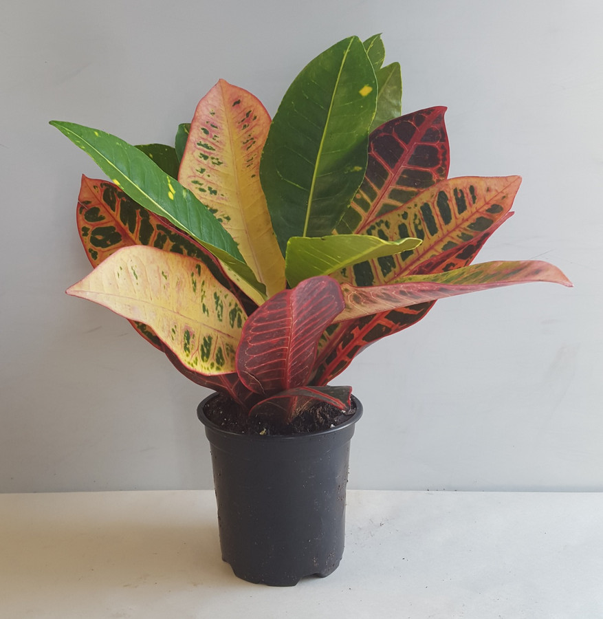 "4"" POTTED CROTON ASST."