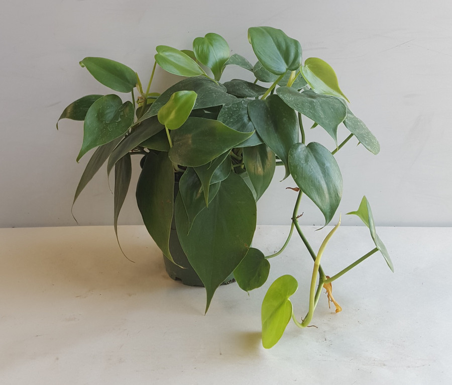"""4"""" POTTED PHILODENDRON"""