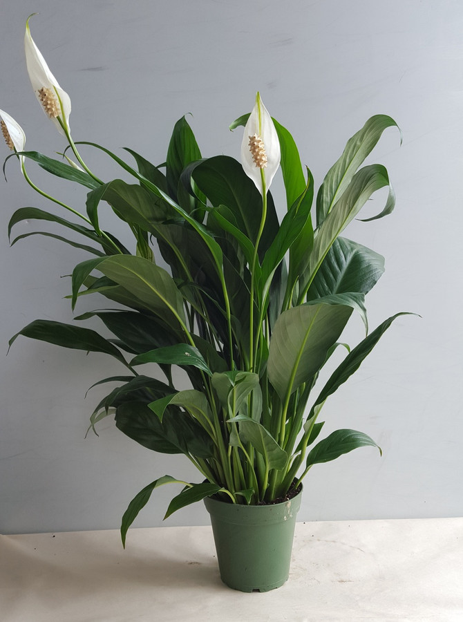 """4"""" POTTED SPATH"""