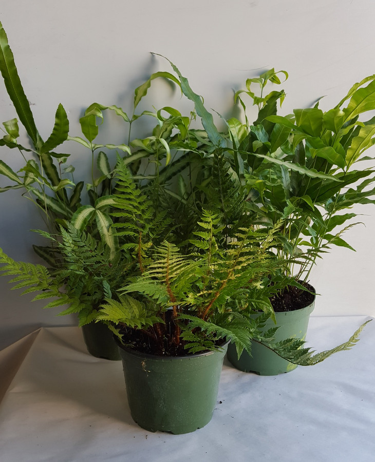 """6"""" POTTED EXOTIC FERN ASSORTME"""