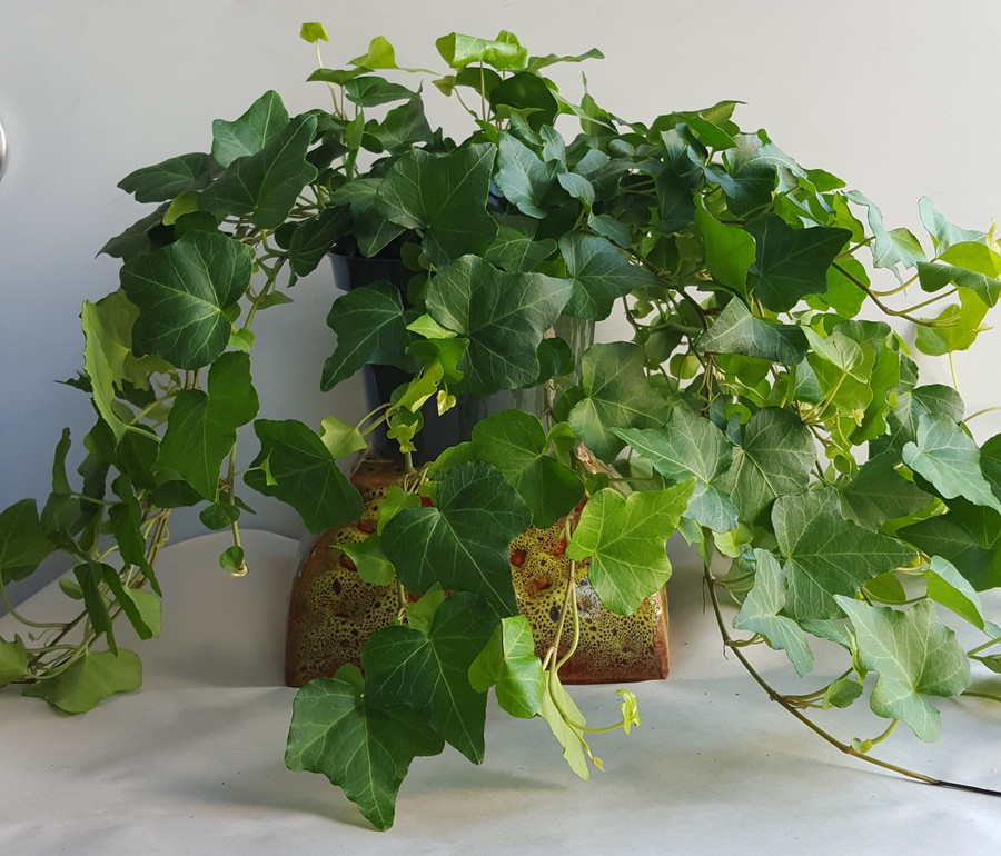 """6"""" POTTED GREEN IVY"""