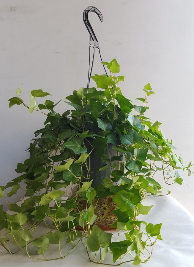 "8"" HANGING GREEN IVY"