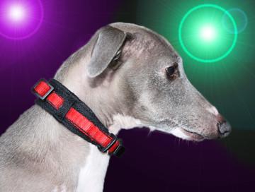 puppy & italian greyhound martingale