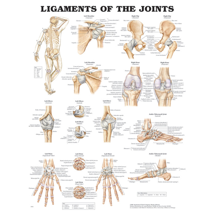 "LIGAMENTS OF THE JOINTS ANATOMICAL CHART 20"" X 26"", LAMINATED"