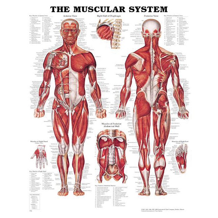 "THE MUSCULAR SYSTEM CHART 20"" W X 26"" H, STYRENE PLASTIC"