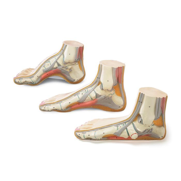 BUDGET FOOT MODEL SET