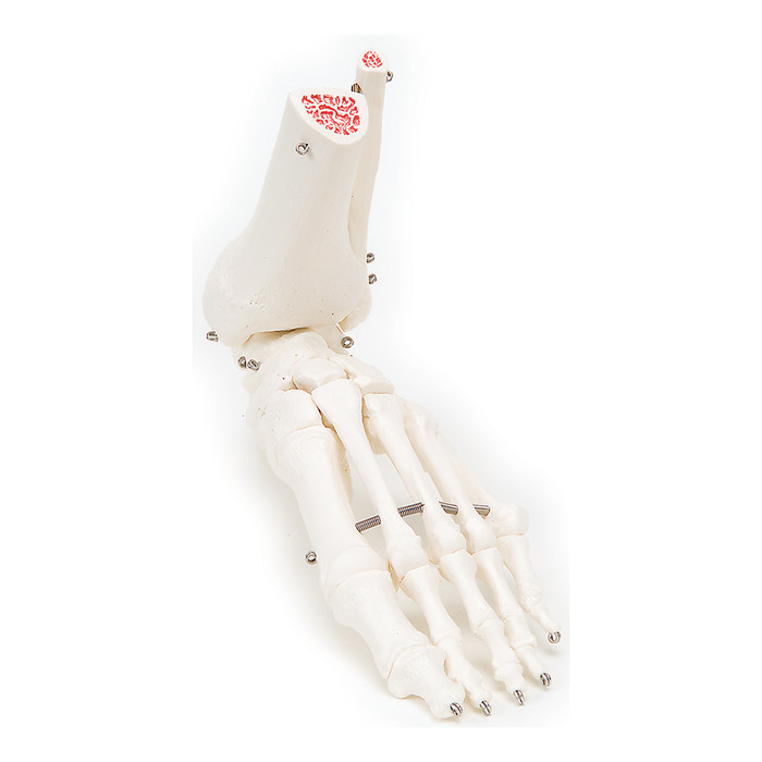 FOOT AND ANKLE SKELETON, RIGHT