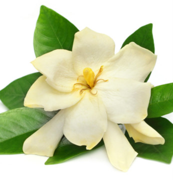 Vegan Body Milk – Gardenia, Cardamom & Coconut 8oz