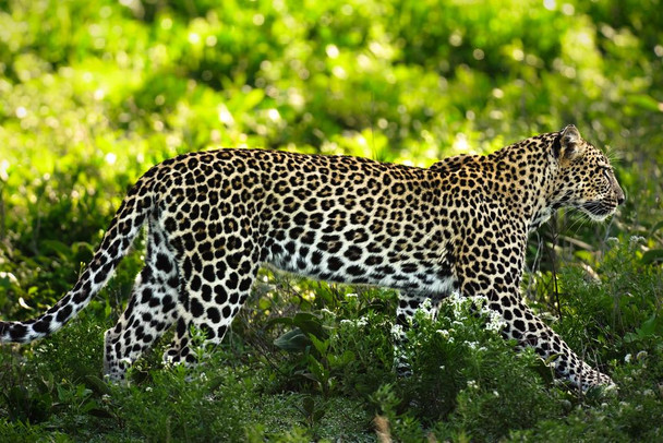 Laminated Leopard in Ndutu Ngorongoro Conservation Area Photo Art Print Sign Poster 18x12 inch