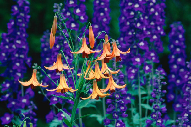 Laminated Canada Lilies and Delphiniums in a Garden Photo Art Print Sign Poster 18x12 inch