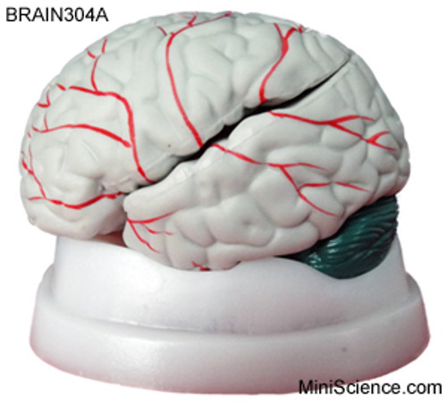 Brain Model with Colored Arteries and Cerebellum