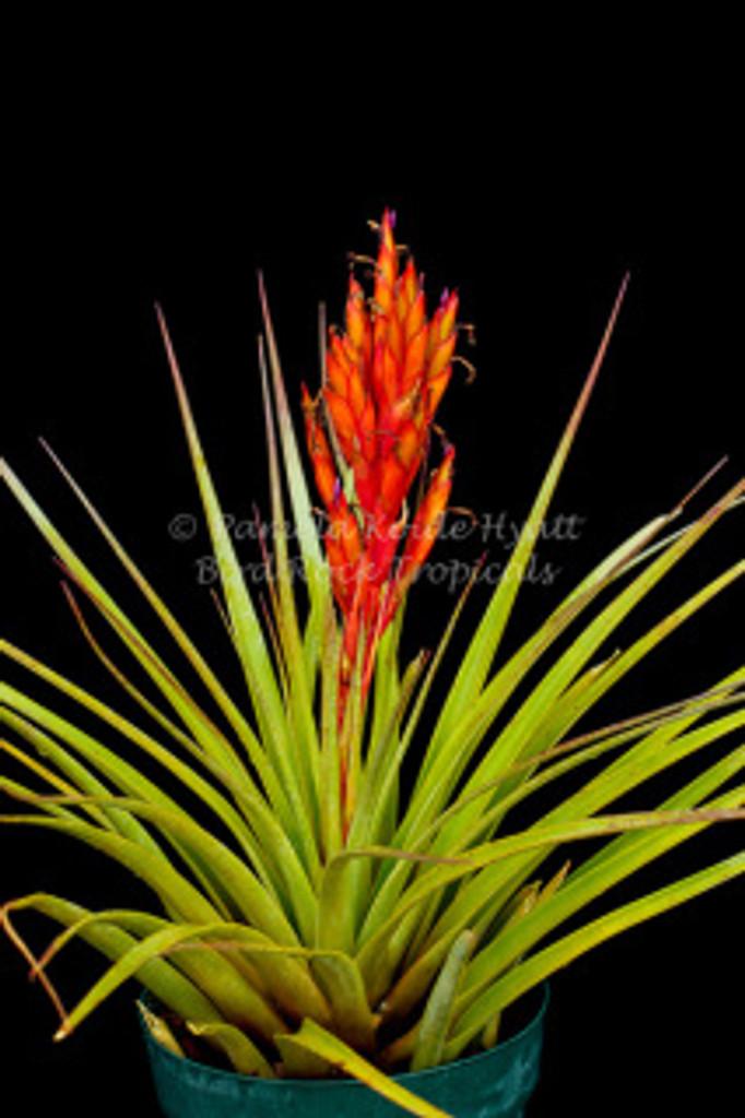 Tillandsia fasciculata (Yucatan)