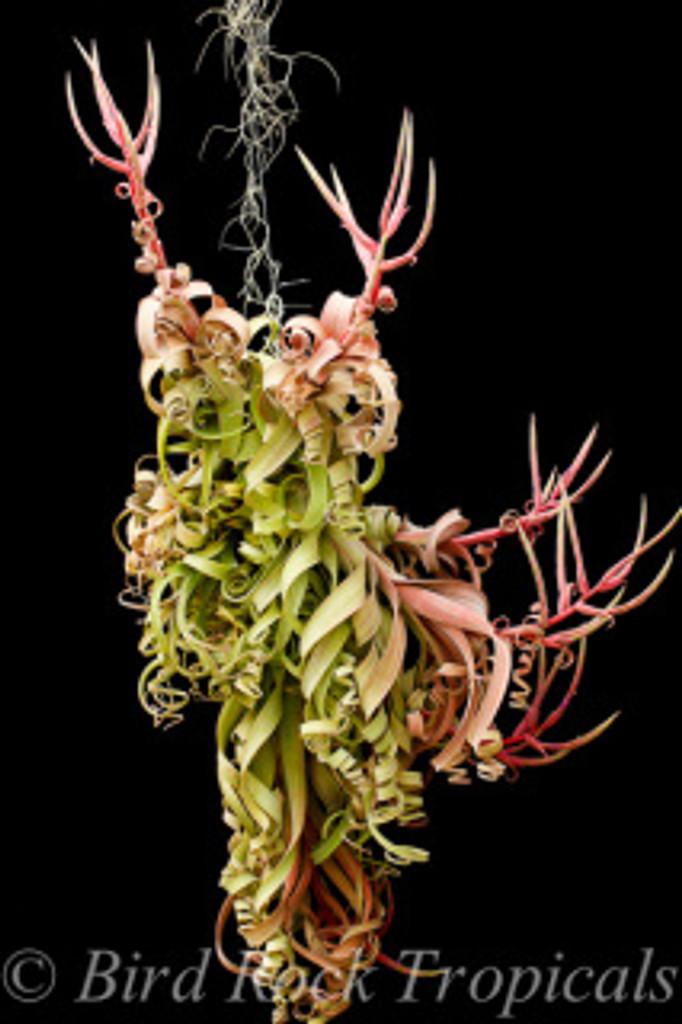 Tillandsia Curly Slim (T. intermedia X streptophylla) - Dimmitt Hybrid