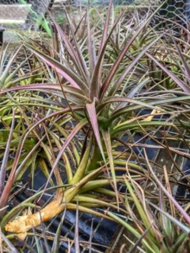 Tillandsia species (aeranthos group)