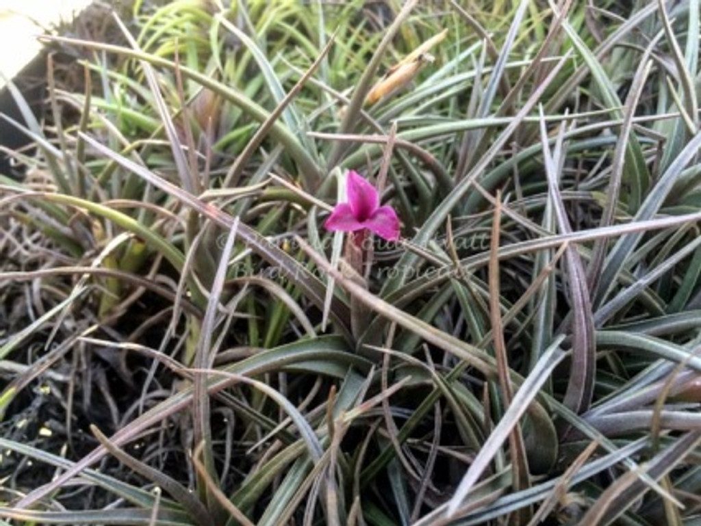 Tillandsia Mystic Burgundy (T. muhriae X albertiana)