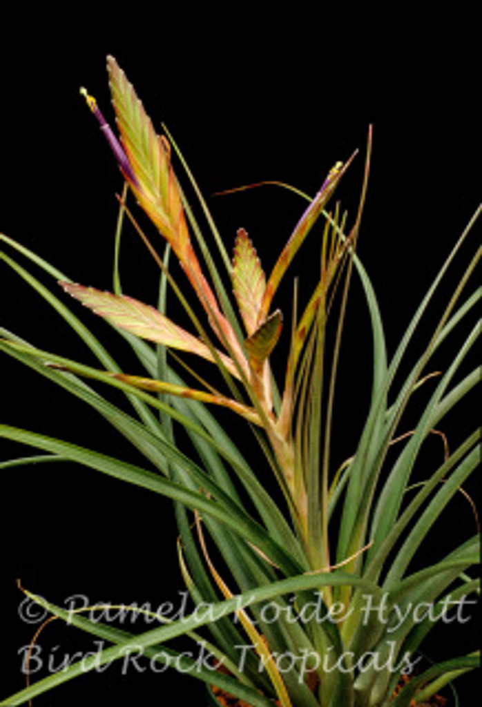 Tillandsia Oeseriana -  (Tillandsia flabellata X T. tricolor)