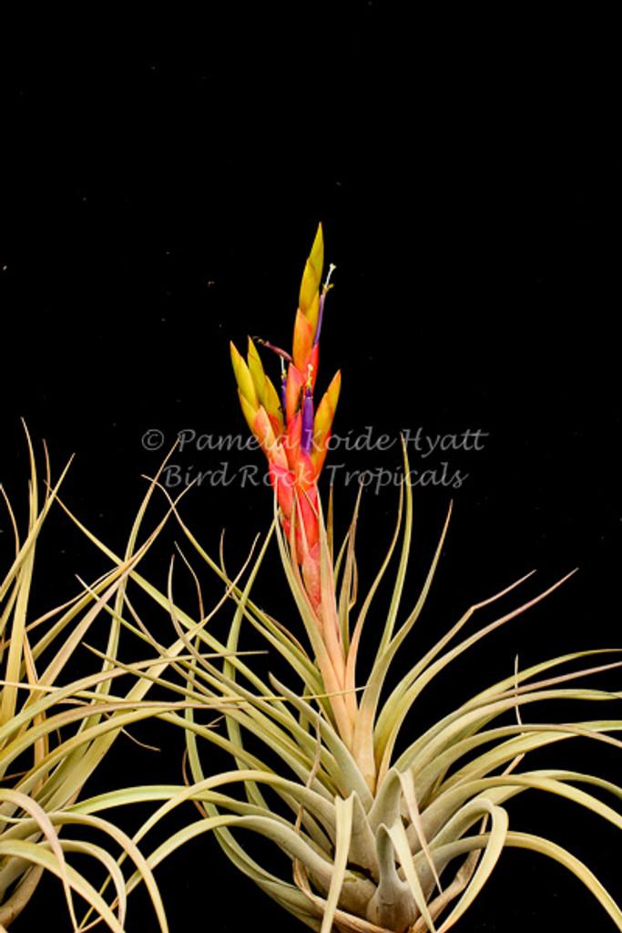 Tillandsia Chevalieri x T. fasciculata v. densispica