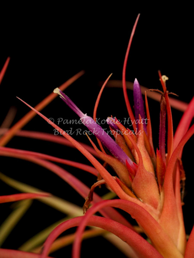 Tillandsia Peachy Keen - (T. concolor X T. capitata 'Mexico Peach')