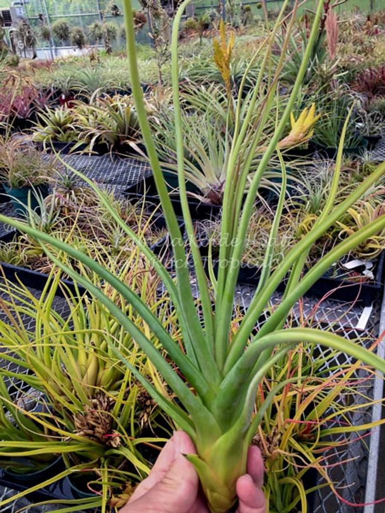 Tillandsia Queen's Dazzle - (T. bulbosa X concolor)
