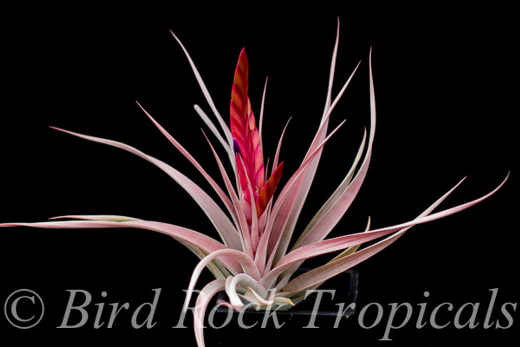 Tillandsia Flaming Spears - (T. concolor X chiapensis)