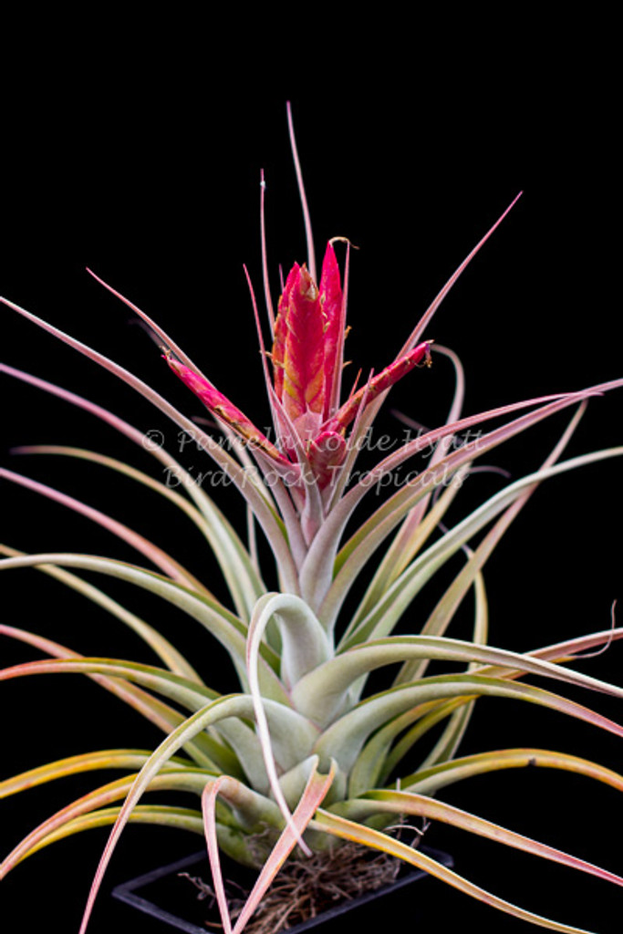Tillandsia Bird Rock Magic - (T. concolor X ehlersiana)