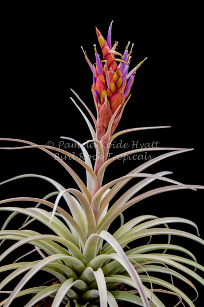 Tillandsia Queen's Sceptre -  (T. harrisii x fasciculata v. uncispica (formerly labeled as T. buchii))