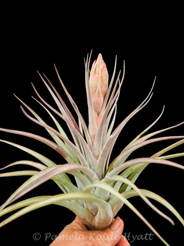 Tillandsia x correalei (T. fasciculata X hondurensis)