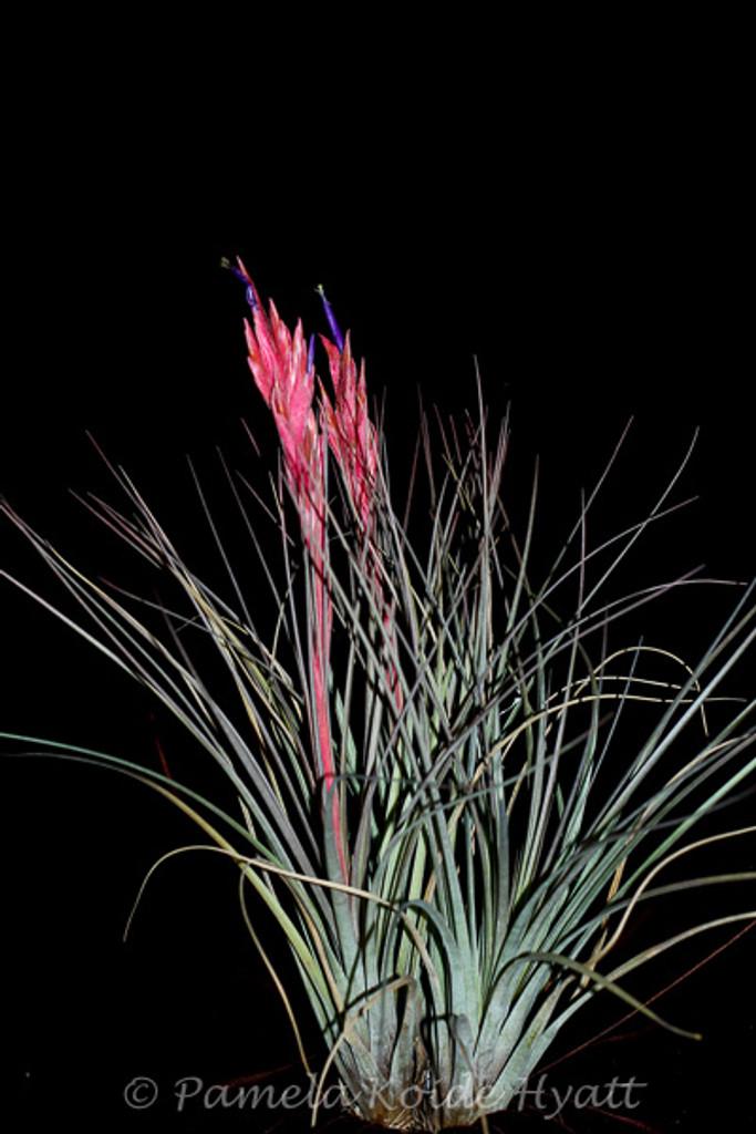 Tillandsia x floridana (T. bartramii x fasciculata)