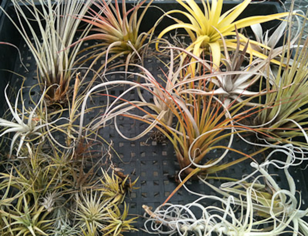 Beginners Tillandsia Assortment - 15 pack