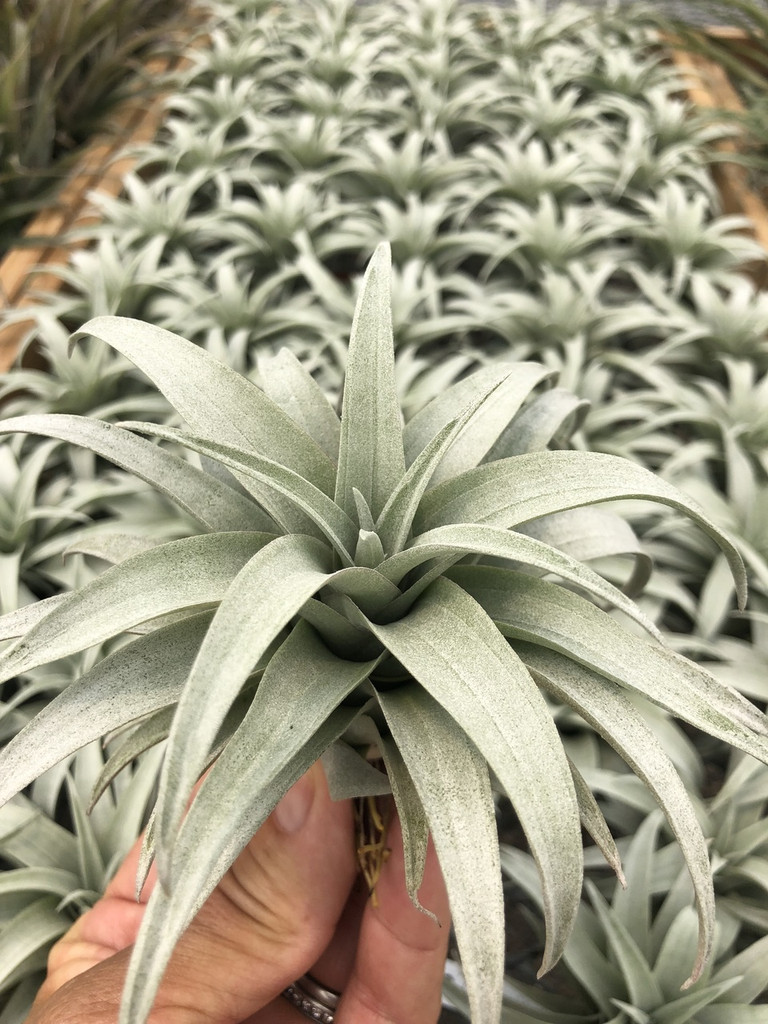 Tillandsia capitata (yellow)