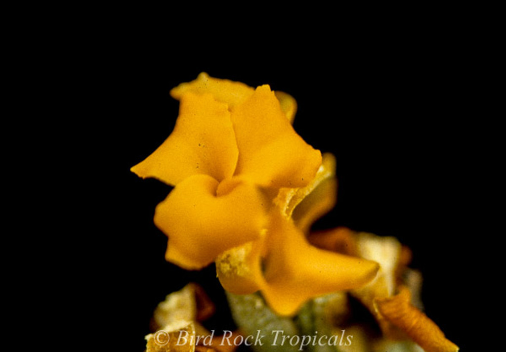 Tillandsia crocata (orange flowers)