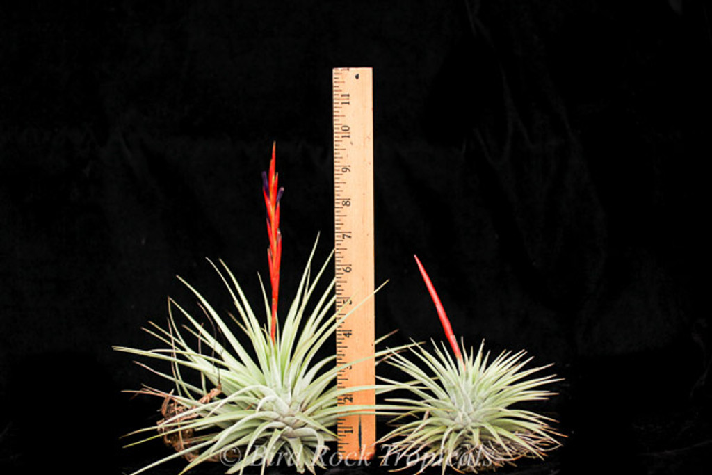Tillandsia espinosae, lg. form