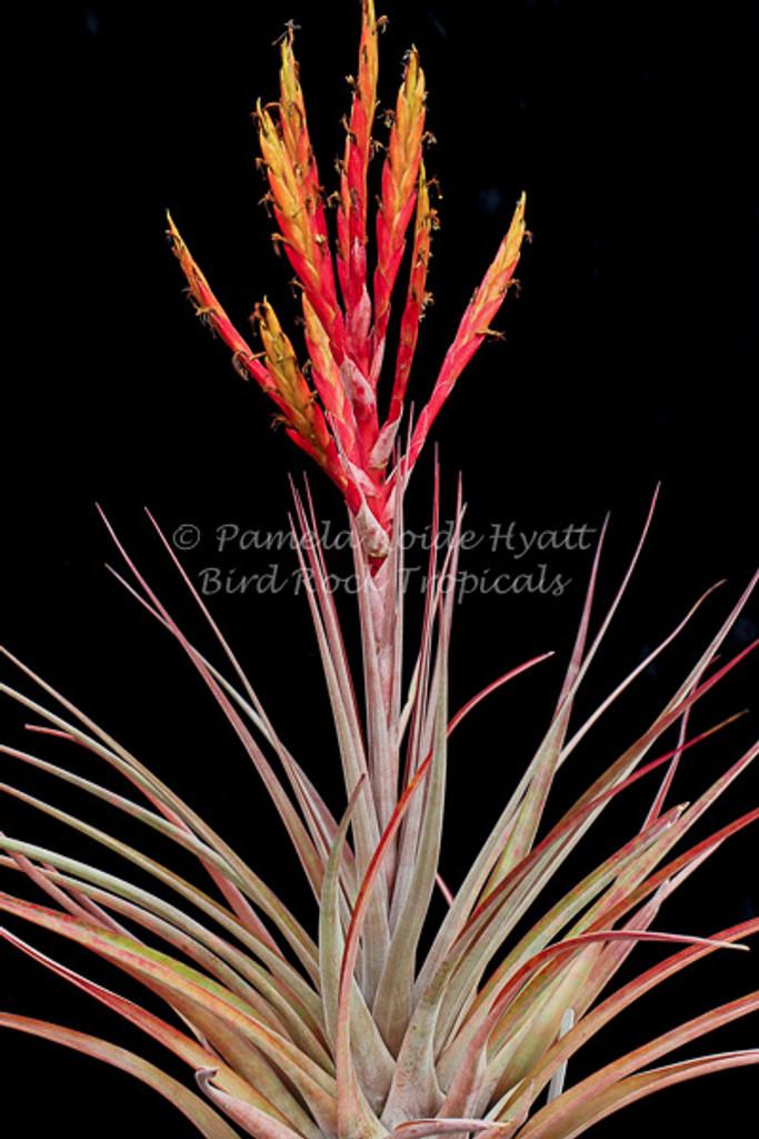 Tillandsia fasciculata v. clavispica