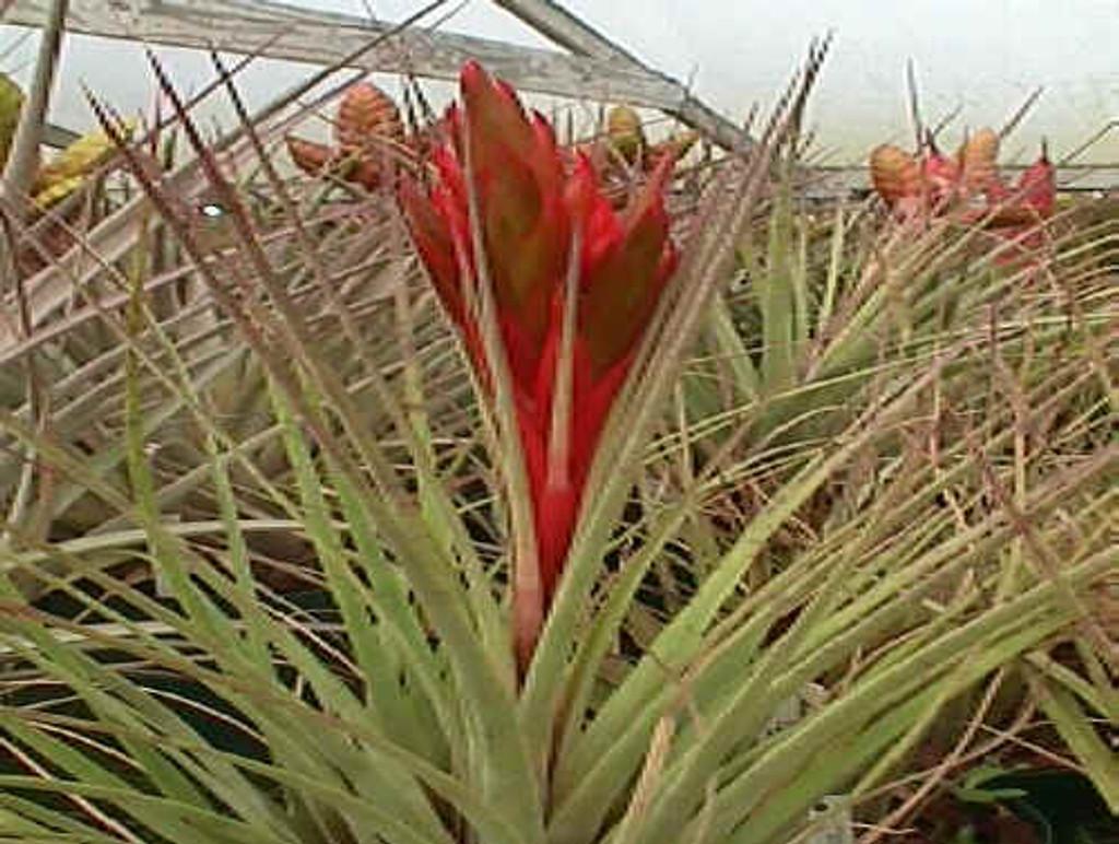 Tillandsia fasciculata v. densispica (Yucatan)(short one)