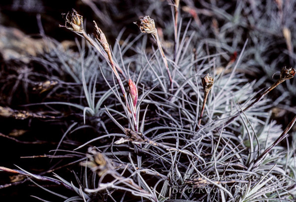 Tillandsia reducta