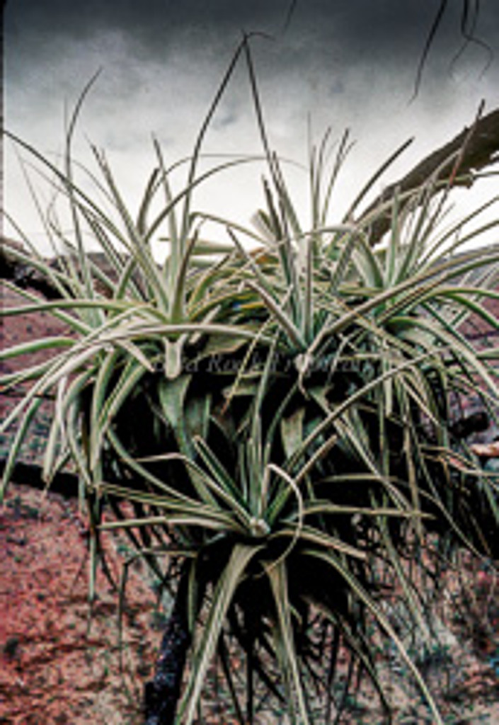 Tillandsia straminea (thick leaf form)