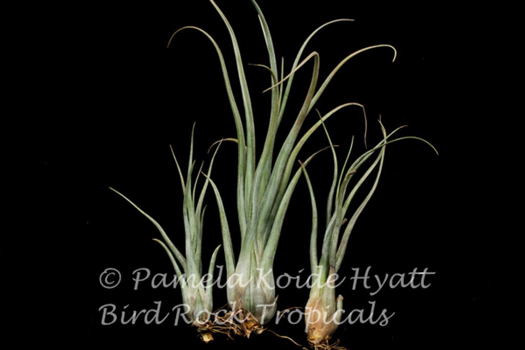 Tillandsia Gorgon (T. streptophylla x pseudobaileyi)