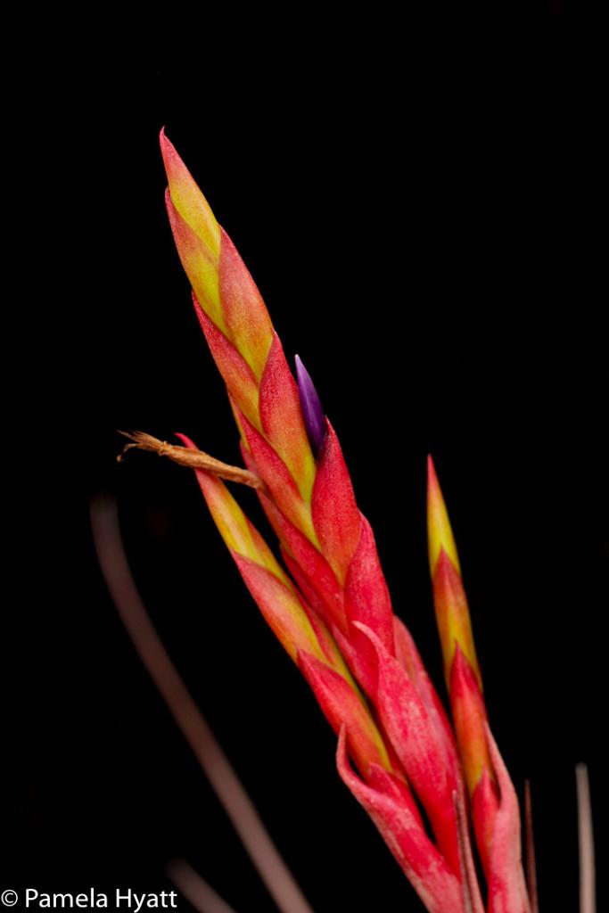 Tillandsia x smalliana (balbisiana x fasciculata)
