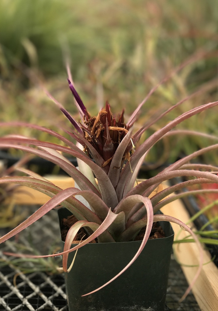 Tillandsia concolor x capitata 'Rubra', (red form)
