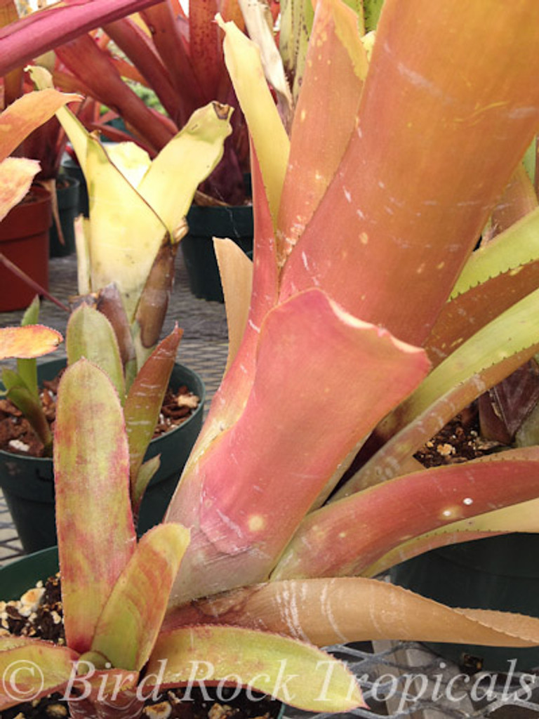 Aechmea fasciata (red form)