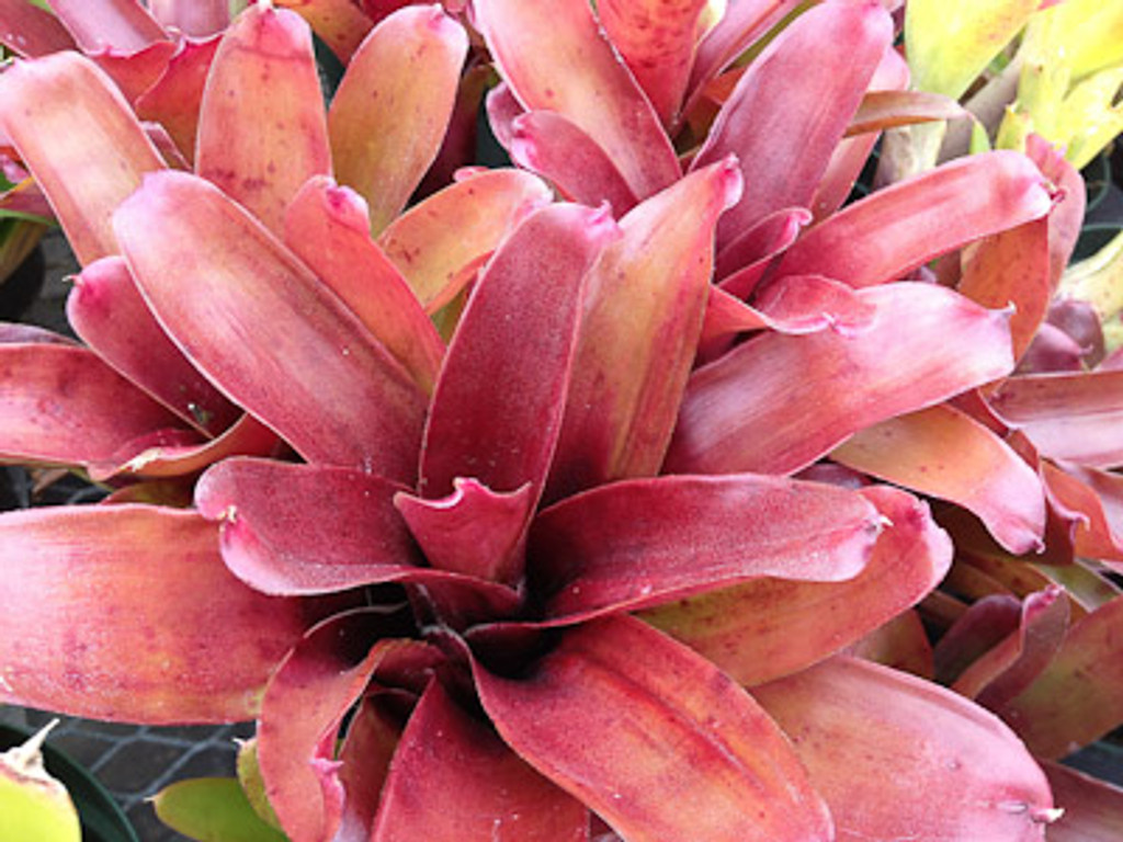 Neoregelia Red Bird x Fireball