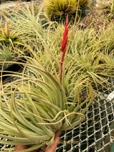 Tillandsia dura (lg. form) X meridionalis (=recurvifolia)