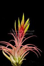 Tillandsia Elisa (T. concolor X streptophylla)