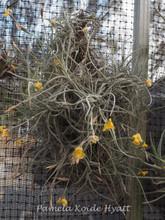 Tillandsia Tawny Yellow - (T. crocata x mallemontii)