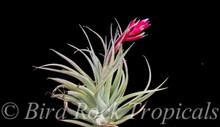 Tillandsia Ed Doherty - (T. aeranthos x leonamiana)