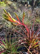 Tillandsia Ervin Wurthman - (T. fasciculata x tricolor)