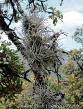 Tillandsia Kimberly (T. usneoides x recurvata)