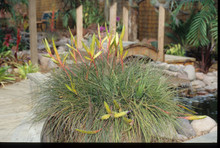 Tillandsia tricolor v. tricolor (Mexico)