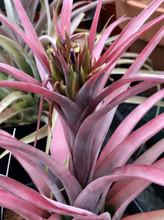 Tillandsia concolor x capitata 'Rubra', (red form)